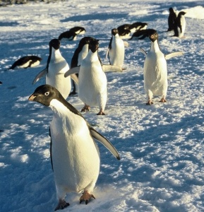 Adelie penguins strut along beach on Inexpressible Island