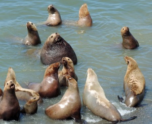 Male Steller sea lion and his harem of females