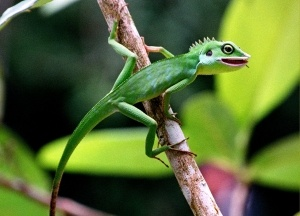 Tree lizard, Sarawak jungle, Borneo