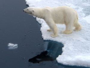 Polar bear at the edge of survival,